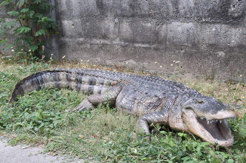 30 Ft Crocodile http://lifesizestatue.com/animals-statues-crocodile-statues-c-5_7.html